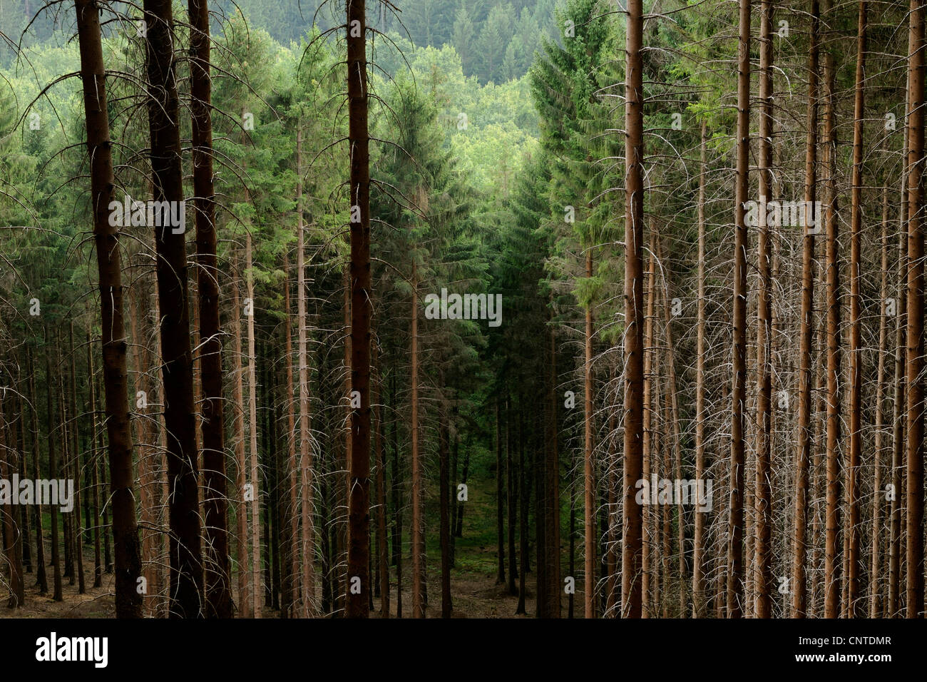 red spruce (Picea rubens), coniferous forest, Germany ...