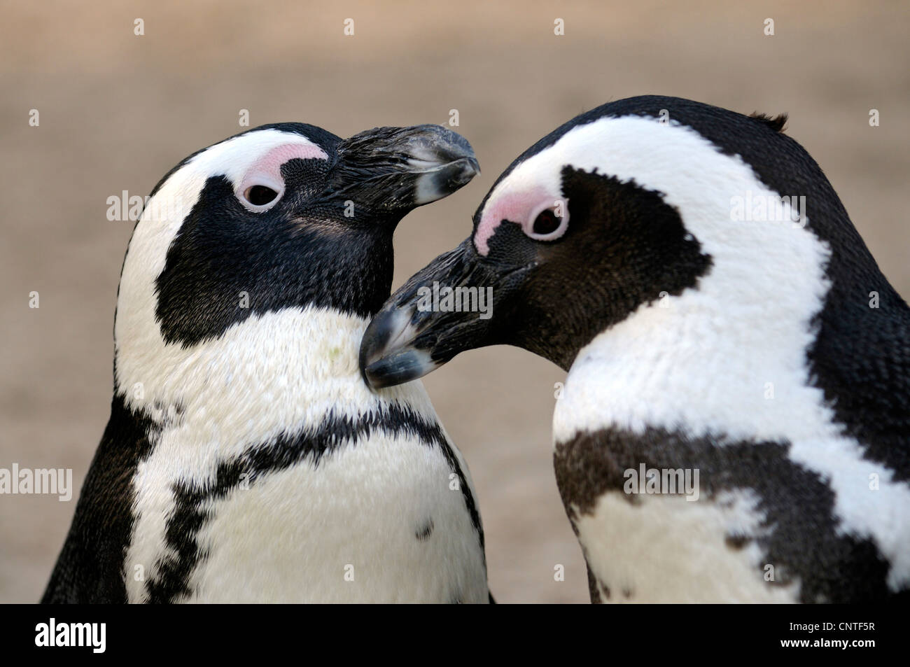 jackass penguin, African penguin, black-footed penguin (Spheniscus demersus), couple greeting - Stock Image