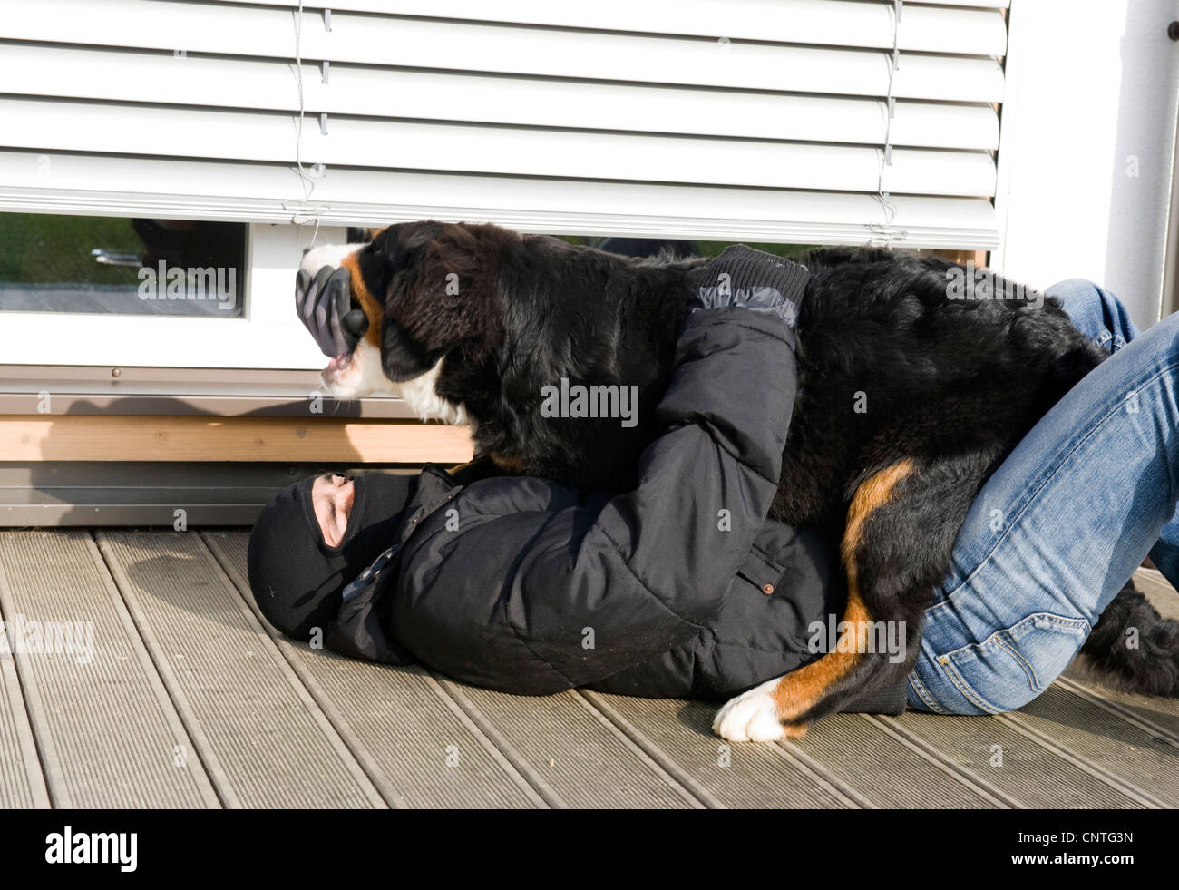 watchdog overwhelms a housebreaker - Stock Image