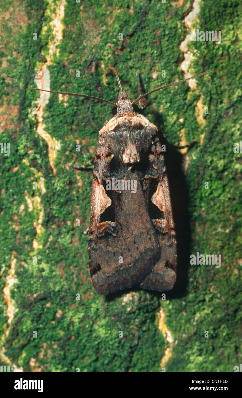 setaceous Hebrew character (Xestia c-nigrum), on bark, Germany - Stock Image