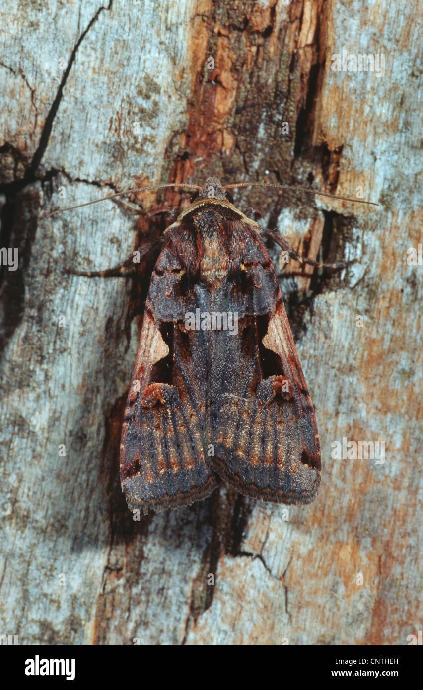 setaceous Hebrew character (Xestia c-nigrum), on deadwood, Germany - Stock Image