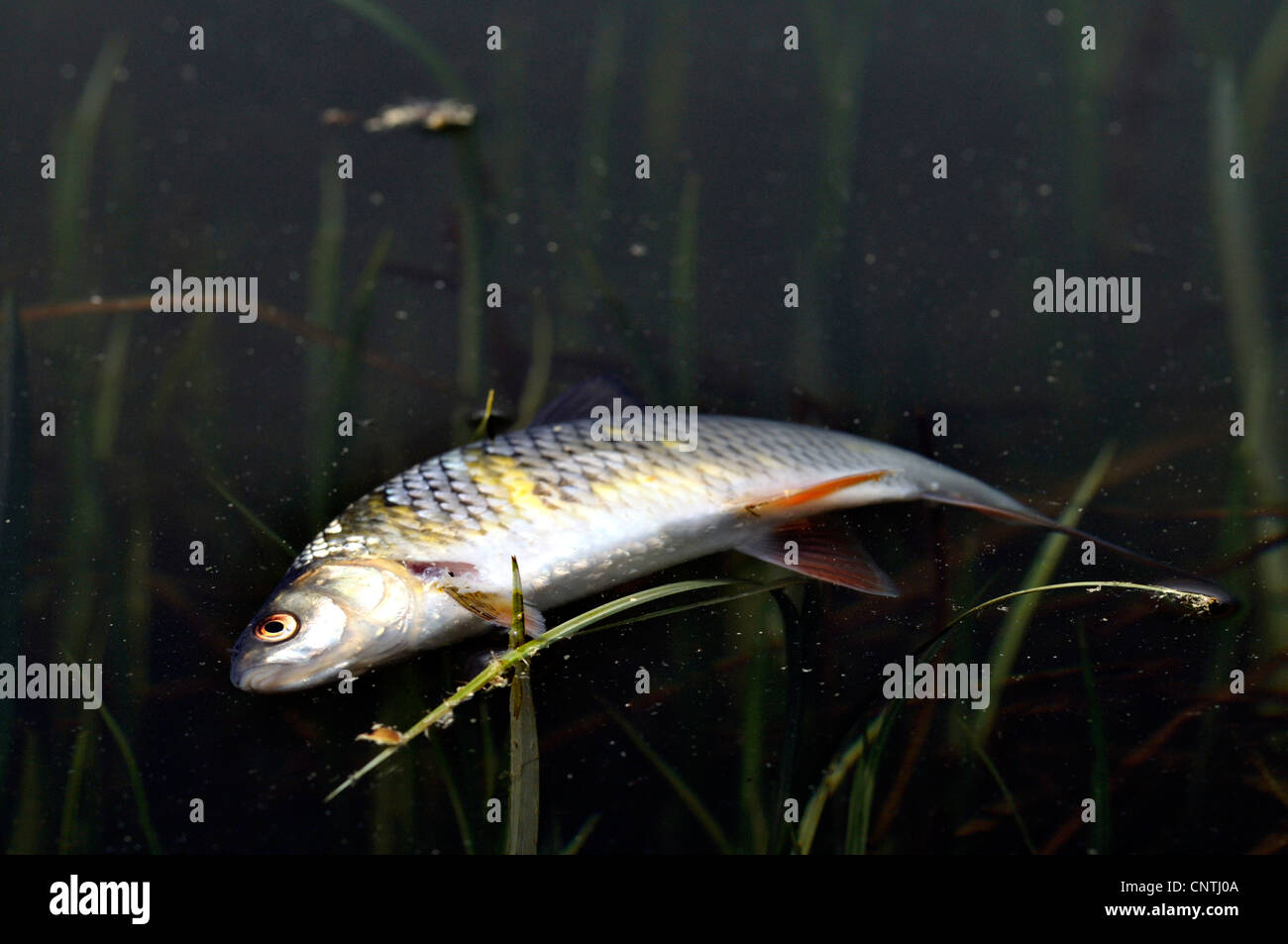 dead fish on a water surface, Germany, North Rhine-Westphalia - Stock Image