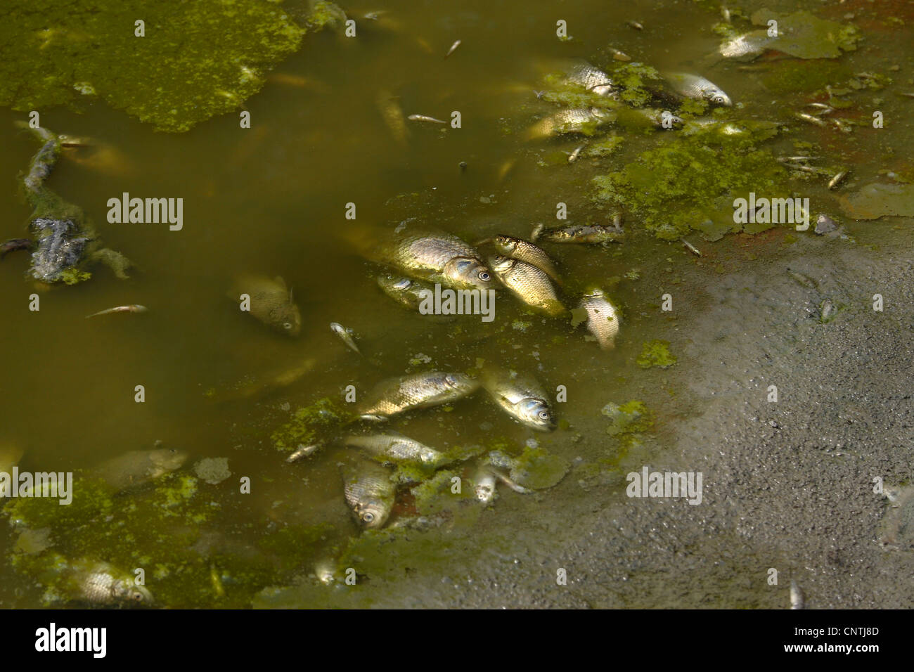 dead fishes at a shore after dumping manure into the water, Germany, Bavaria - Stock Image