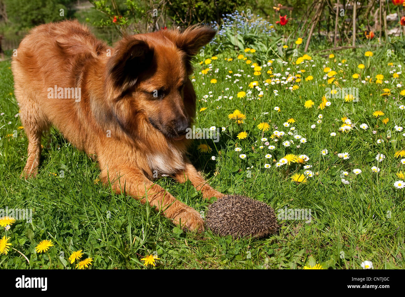 Western hedgehog, European hedgehog (Erinaceus europaeus), dog and hedgehog meeting in a meadow, Germany - Stock Image