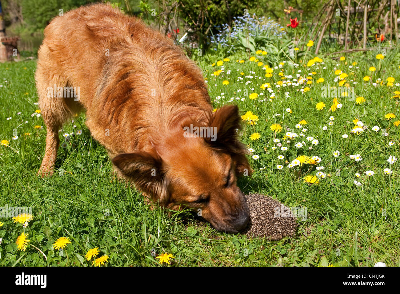 Western hedgehog, European hedgehog (Erinaceus europaeus), dog and hedgehog meeting in a meadow, Germany - Stock Image
