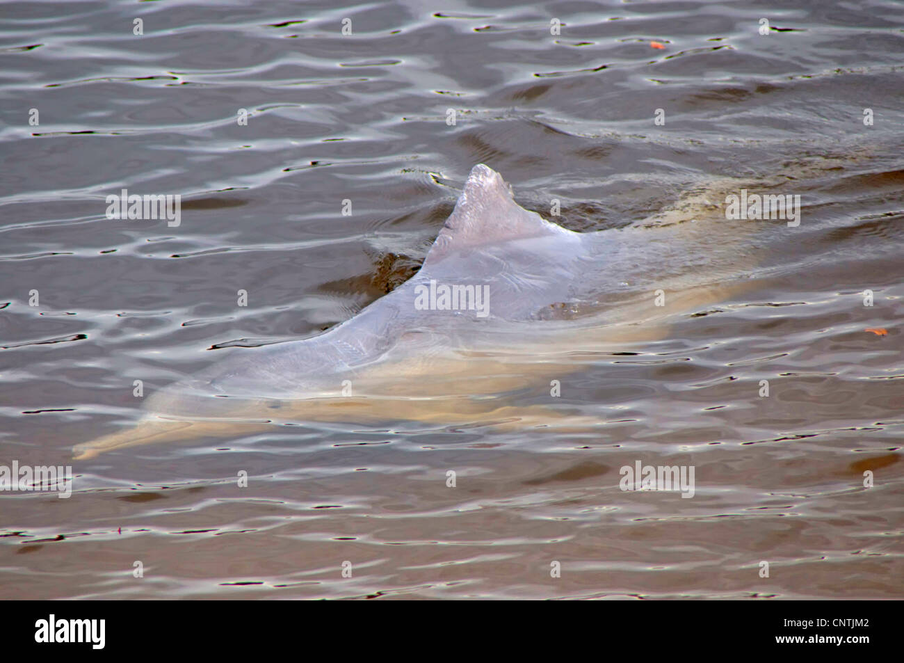 Chinese White Dolphin, Indo-Pacific Humpback Dolphin (Sousa chinensis), dolphin feeding, Australia, Queensland, - Stock Image