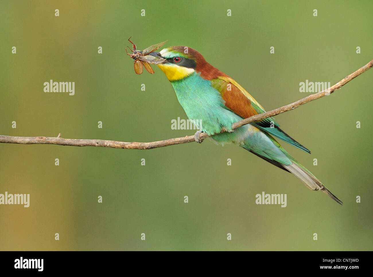 European bee eater (Merops apiaster), with prey in its beak Stock Photo