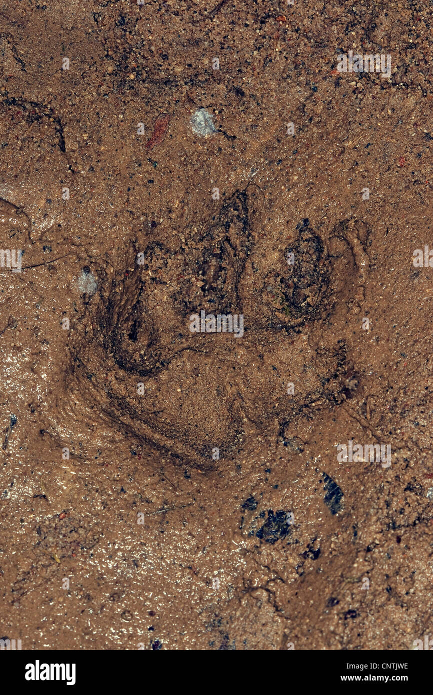 raccoon dog (Nyctereutes procyonoides), tracks in the mud, Germany - Stock Image