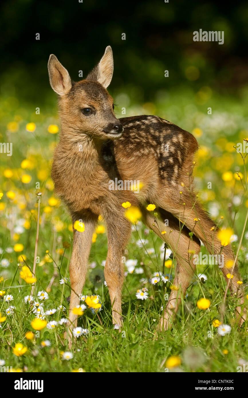 roe deer (Capreolus capreolus), fawn on a flower meadow, Germany Stock Photo