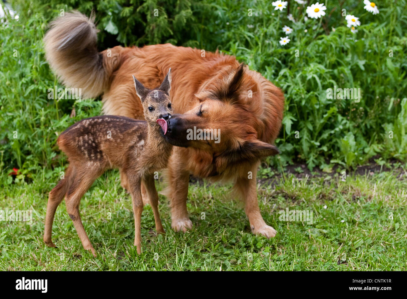 roe deer (Capreolus capreolus), dog is licking the fwan in a garden ...