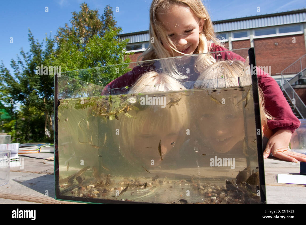 primary school pupils watching animals caught in the self-built pond in the school garden in an aquarium - Stock Image