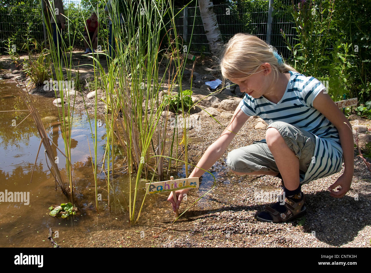 cat-tail family (Typhaceae), primary school pupil installing a name plate beside cat-tail at a self-built pond in - Stock Image