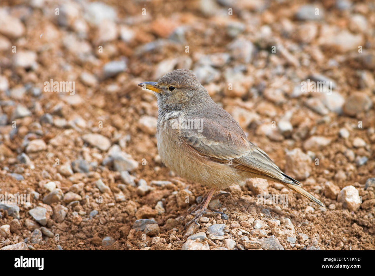 desert lark (Ammomanes deserti), on stony ground, Morocco - Stock Image