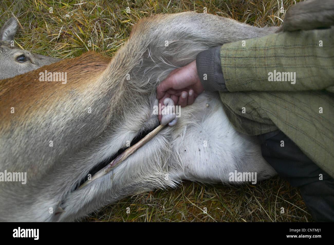 red deer (Cervus elaphus), stalker holding bowels between his hingers of a shot and opened animal, United Kingdom, - Stock Image
