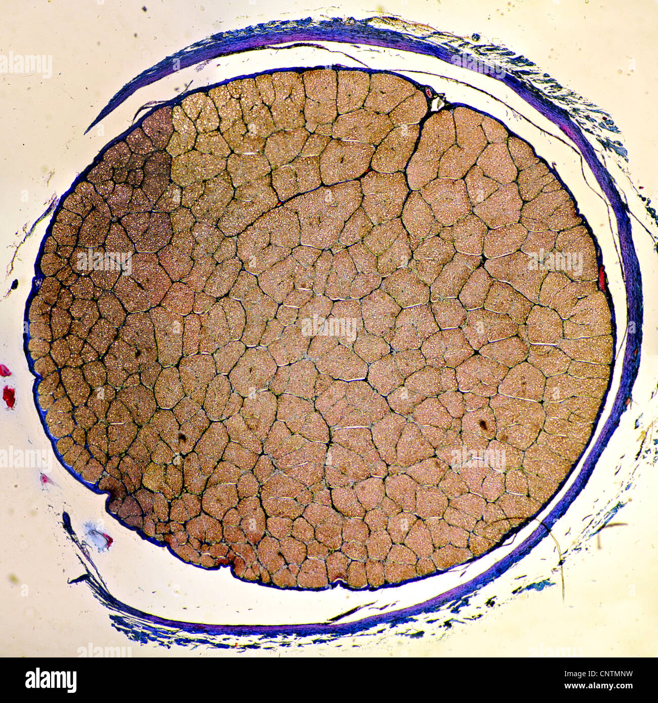 Cross section of the optic nerve - Stock Image