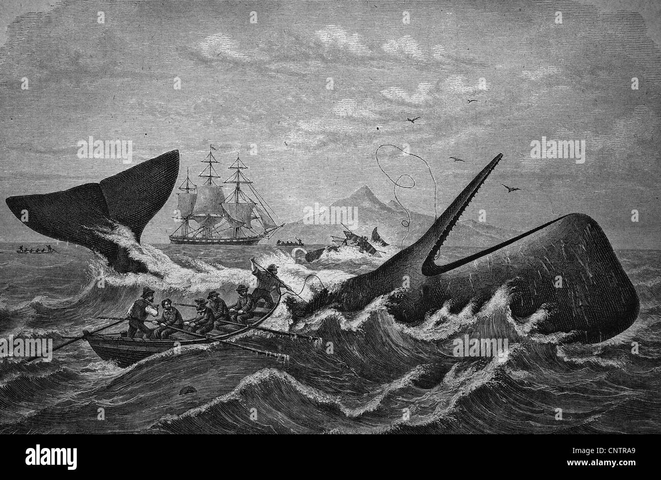 Sperm whale being hunted by whalers, historical woodcut, circa 1870 - Stock Image