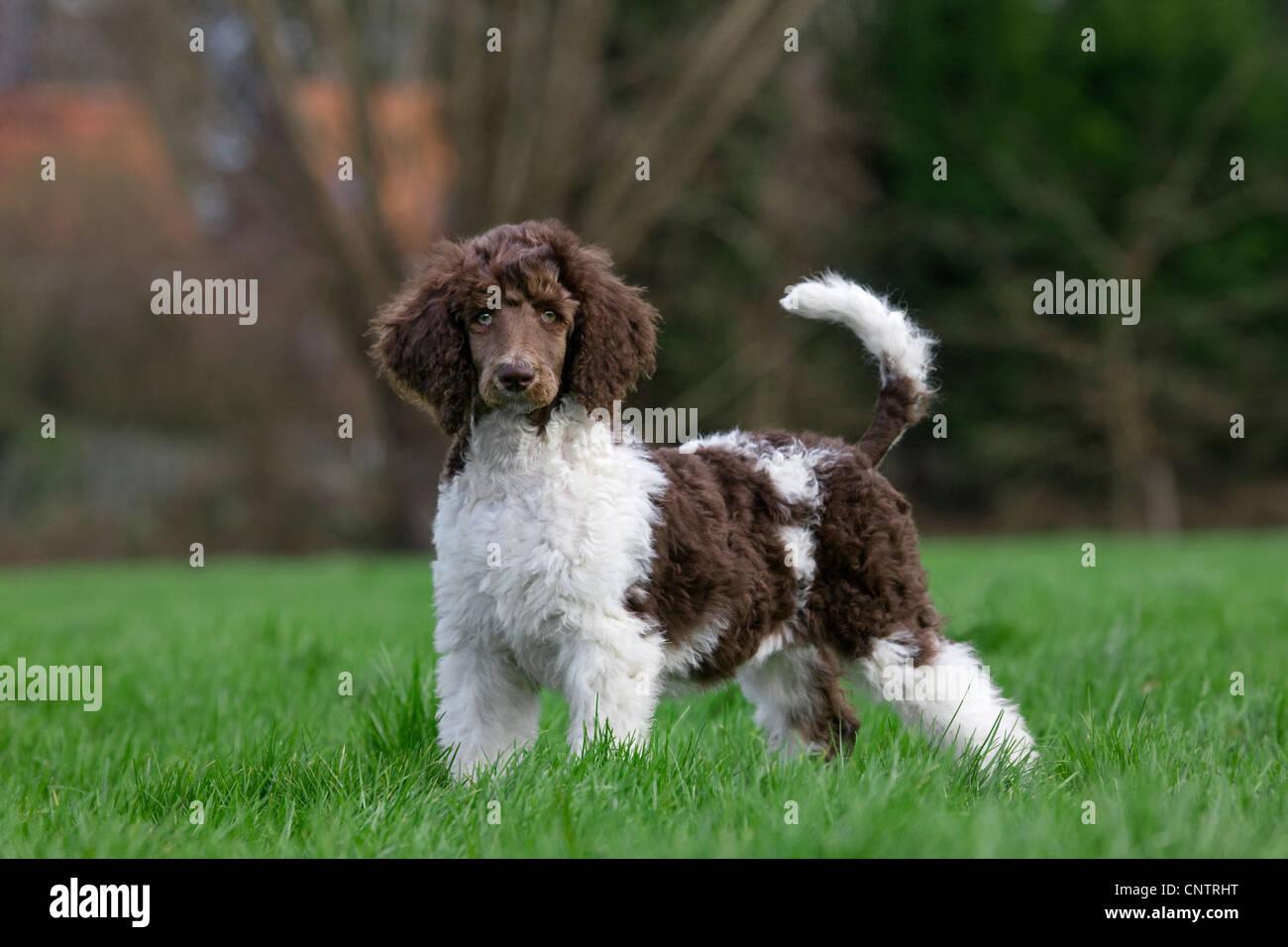 Harlequin poodle (Canis lupus familiaris), pup in garden - Stock Image