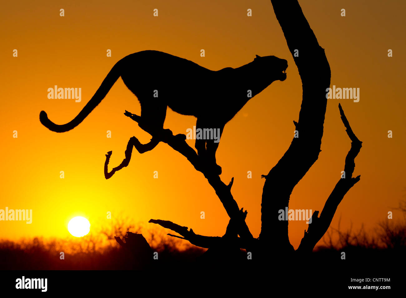 African Leopard (Panthera pardus) at sunrise, in Silhouette, South Africa Stock Photo