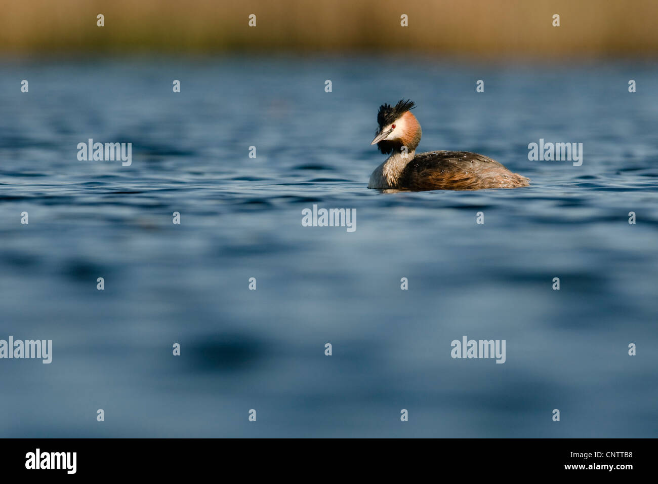 Great Crested Grebe swimming on open water - Stock Image