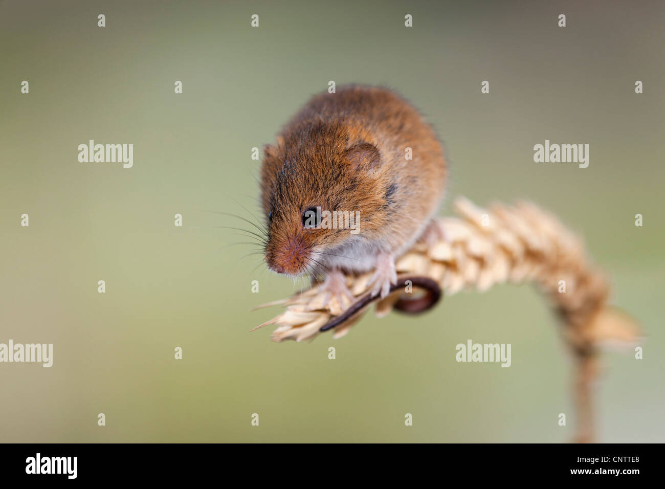 Harvest Mouse; Micromys minutus; on ear of corn; UK - Stock Image