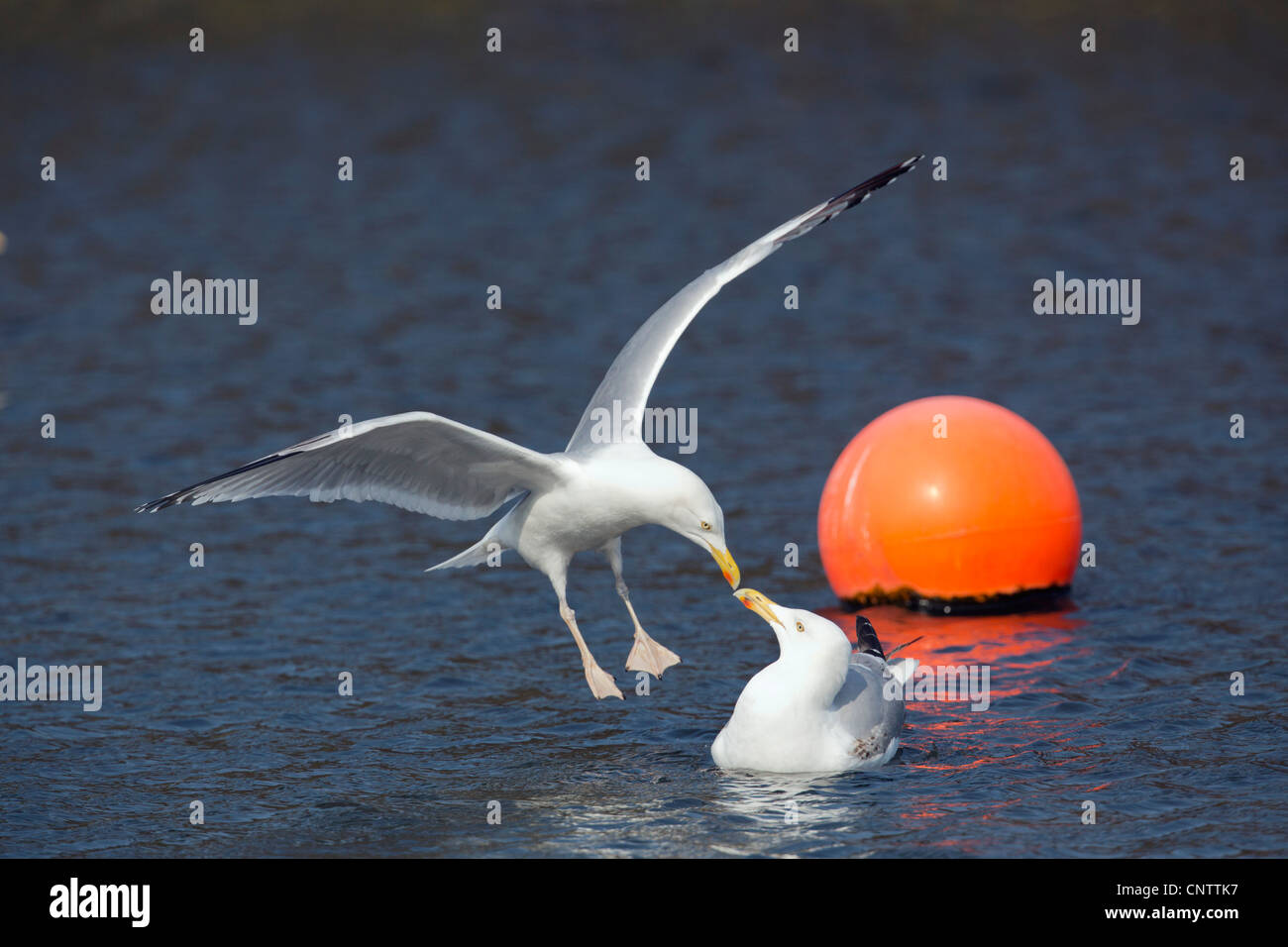 Herring Gulls; Larus argentatus; Cornwall; UK - Stock Image