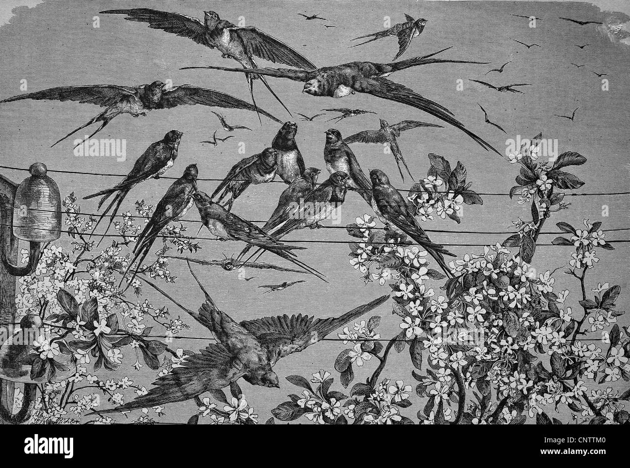 Swallows in the spring, historical engraving, 1869 - Stock Image