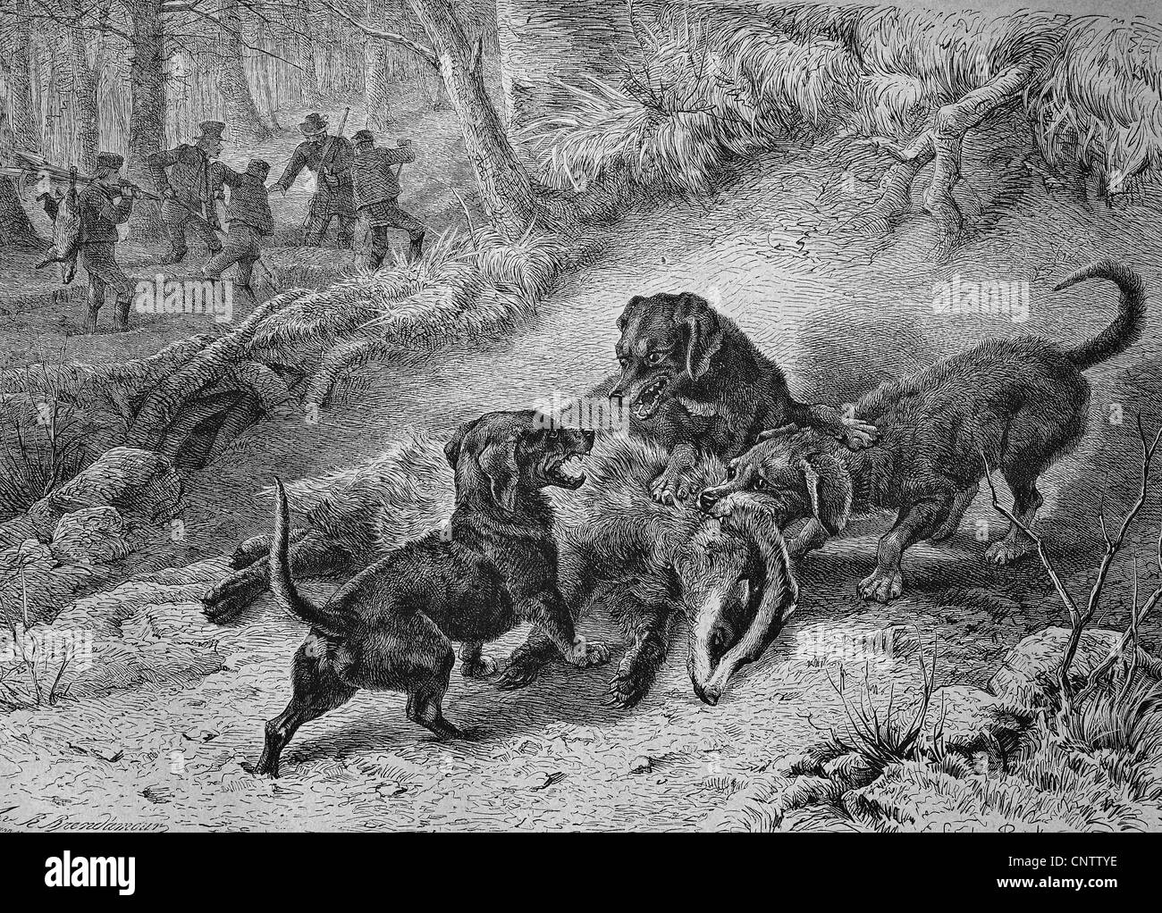 Hounds hunting badgers, historical engraving, 1869 - Stock Image