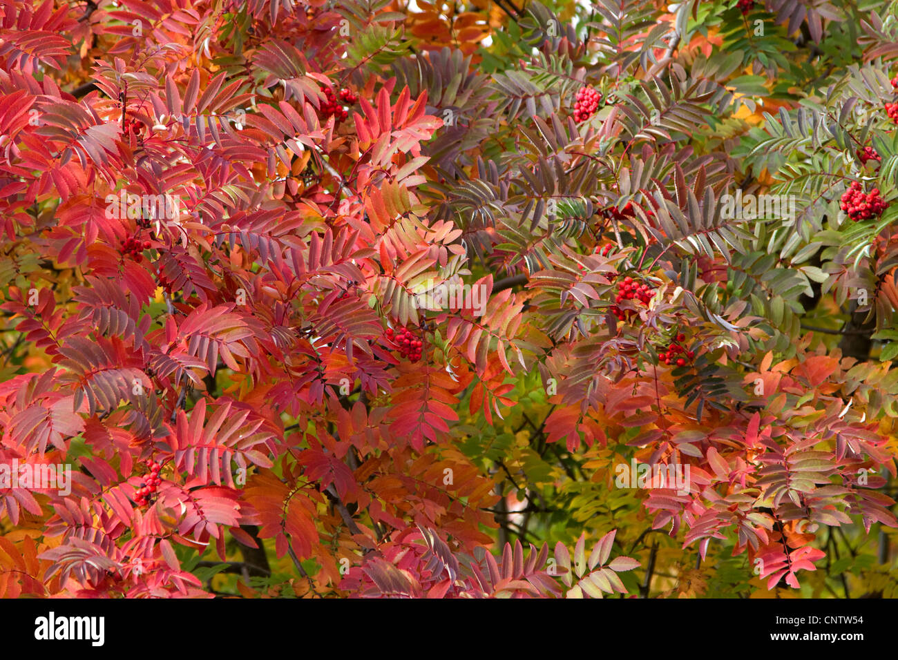 autumn rowan leaves in the trees as the background - Stock Image