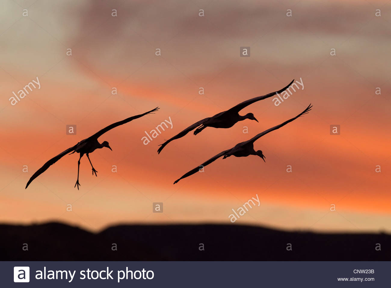 Three sandhill cranes (Grus canadensis) prepare to land after sunset on a pond at Bosque del Apache in New Mexico. - Stock Image