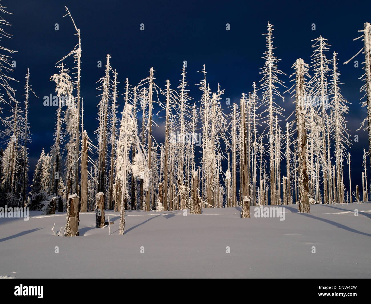 Norway spruce (Picea abies), died spruces, damage by bark beetles, Germany, Bavaria, Bayerischer Wald  , Dreisesselberg - Stock Image