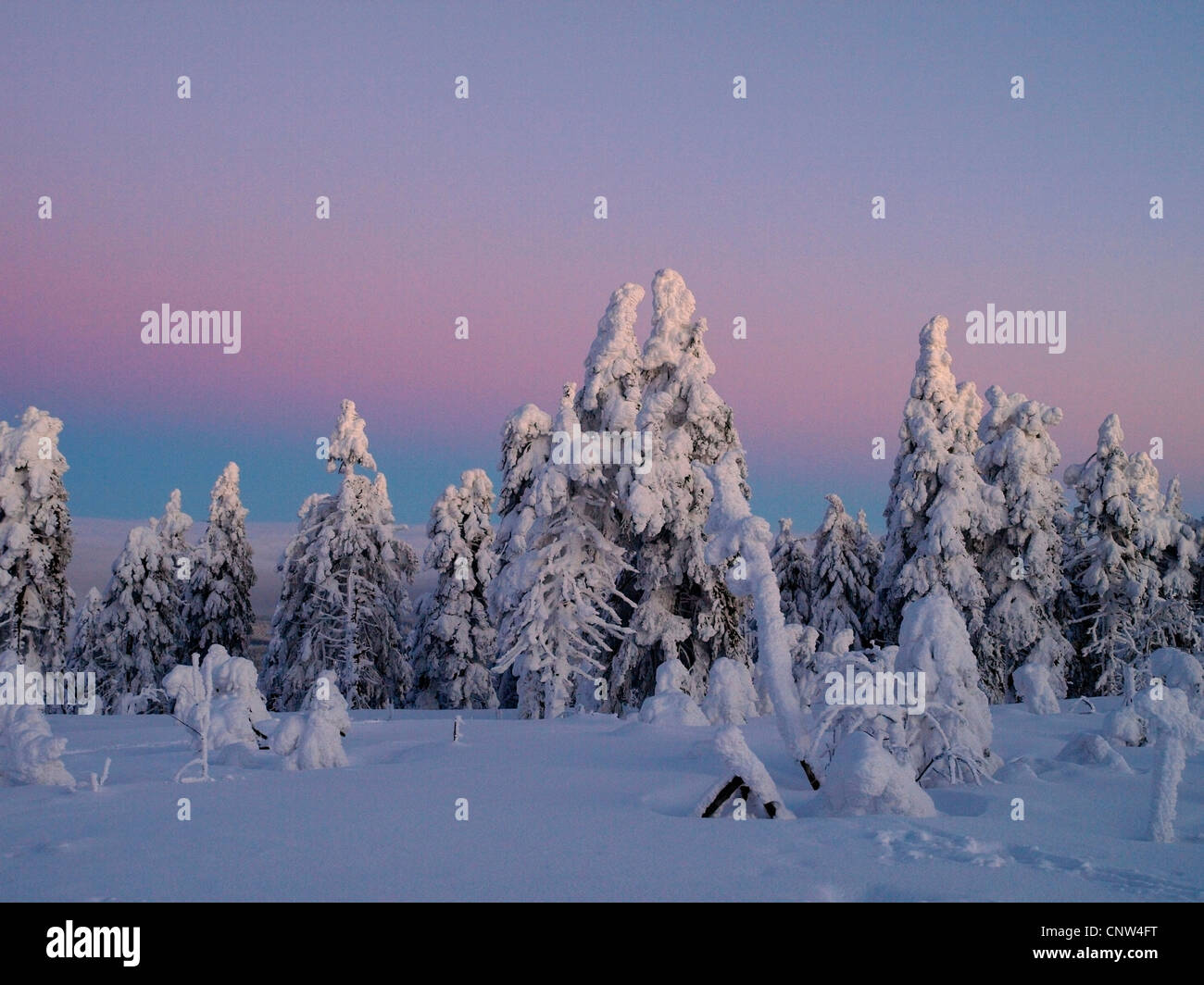 snow-covered light conifer forest in the light of the rising sun, Czech Republic, Erz Mountains, Keilberg - Stock Image