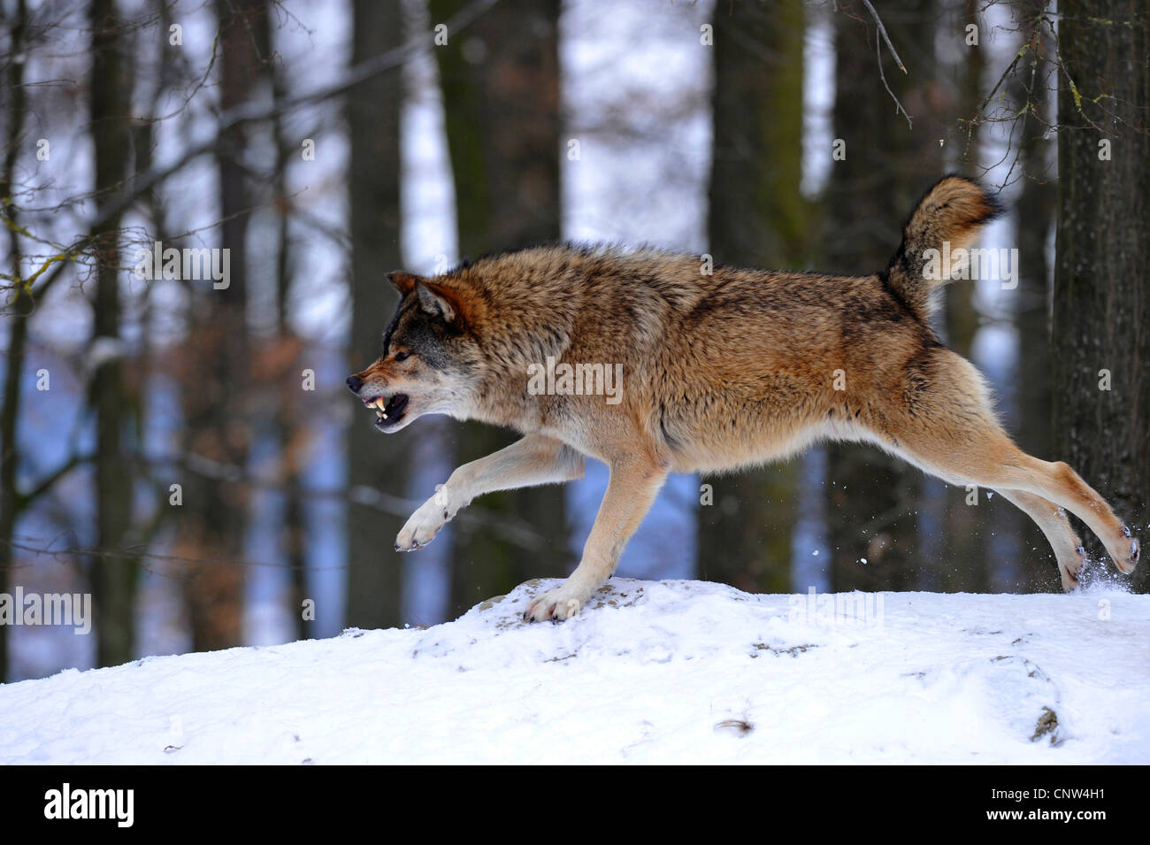 timber wolf (Canis lupus lycaon), snarling and threatening in the snow - Stock Image