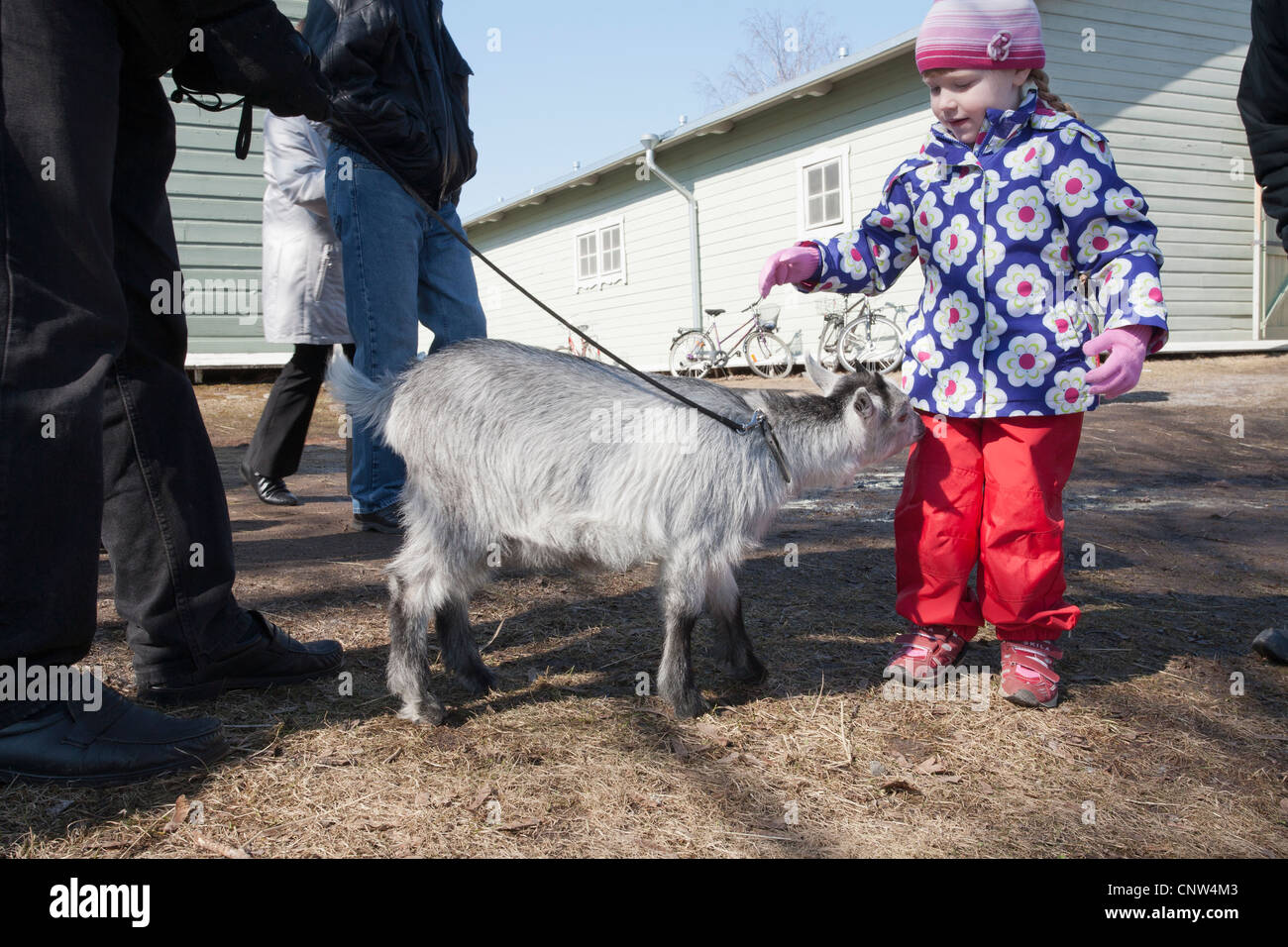 3 months old pygmy goat - Stock Image