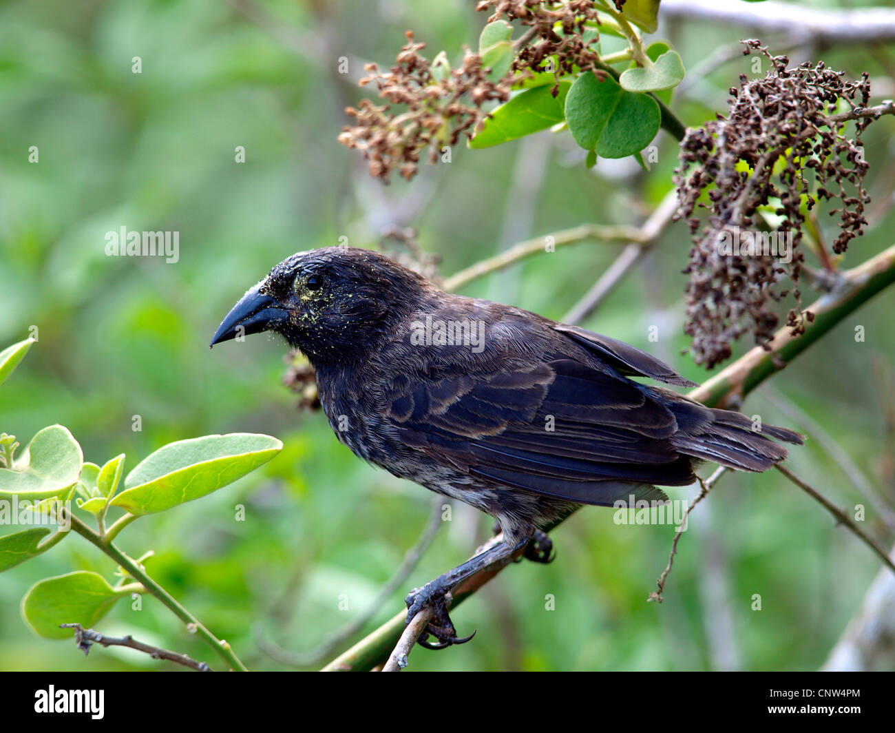 darwin finch, Ecuador, Galapagos Islands - Stock Image