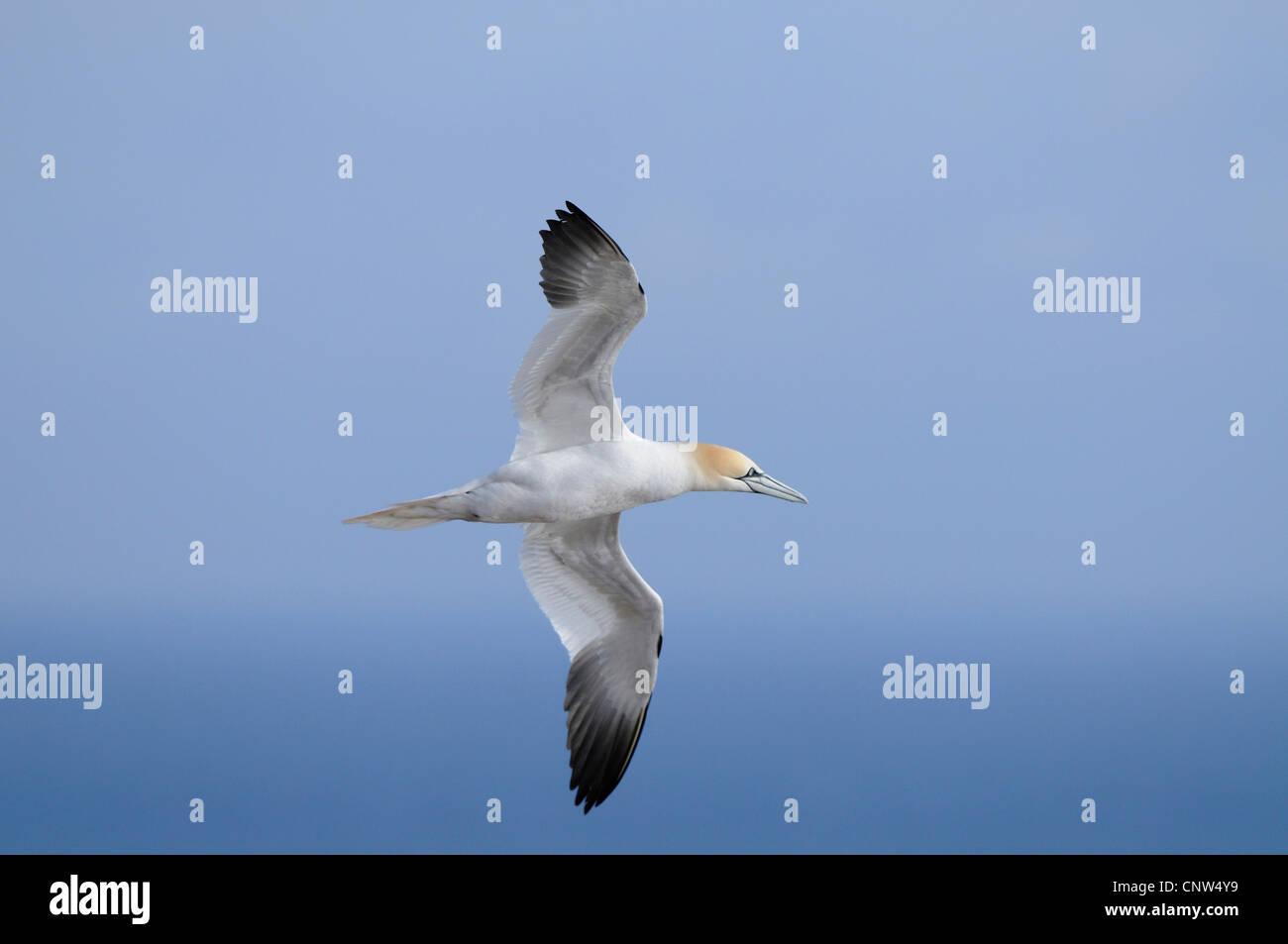northern gannet (Sula bassana, Morus bassanus), flying, Germany, Heligoland - Stock Image