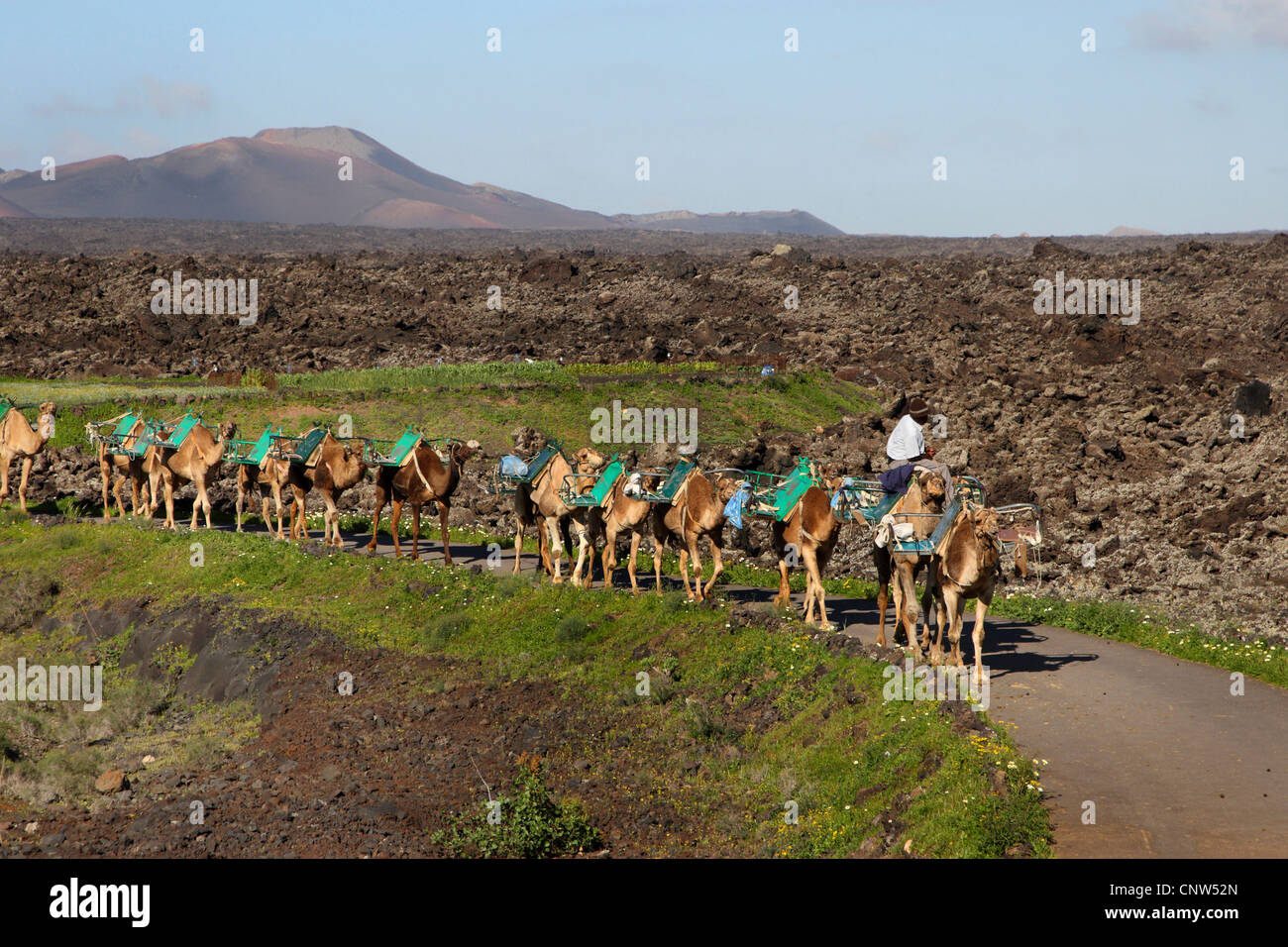 dromedary, one-humped camel (Camelus dromedarius), Dromedary in the National park Timanfaya on Lanzarote, Canary Stock Photo
