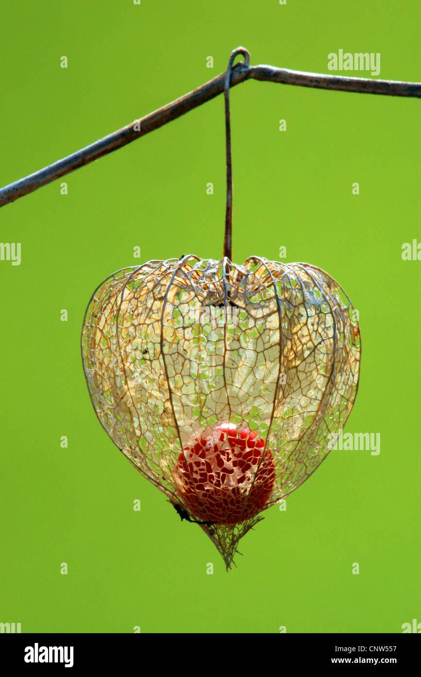 Chinese lantern, Japanese lantern, winter cherry, strawberry tomato (Physalis alkekengi var. franchetii, Physalis Stock Photo