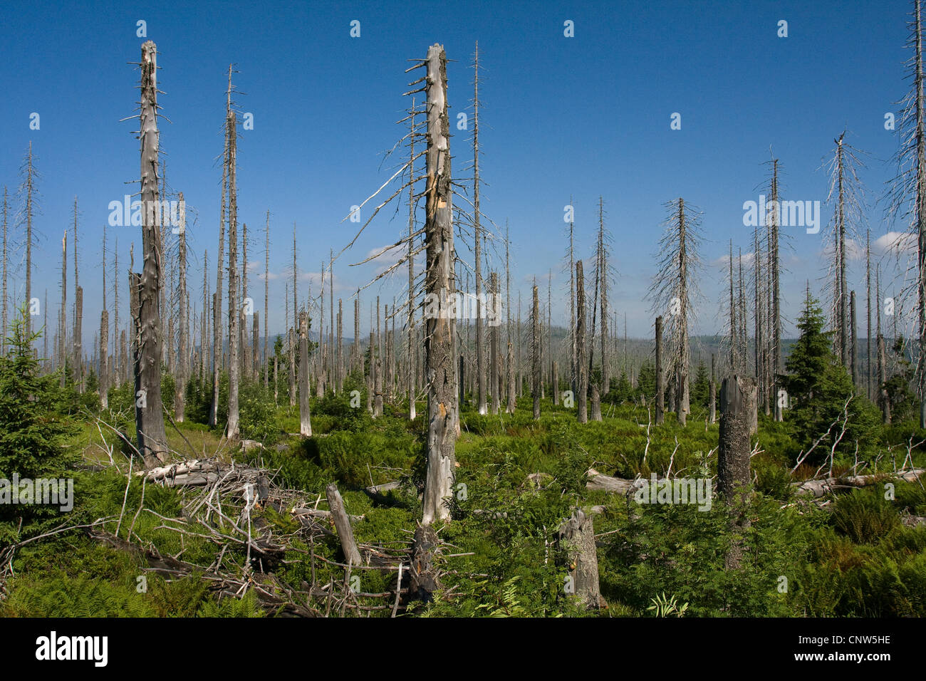 Norway spruce (Picea abies), forest dieback at Lusen in National Park Bavarian Forest, Germany, Bavaria, Bavarian Stock Photo
