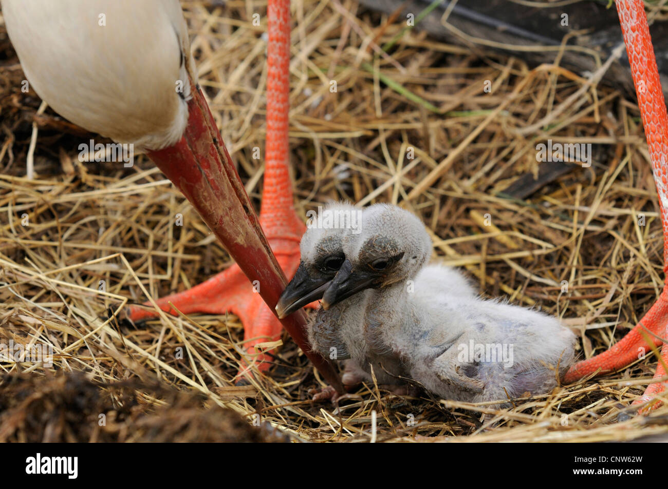 white stork (Ciconia ciconia), two birds sitting in a nest under an adult, France, Alsace - Stock Image