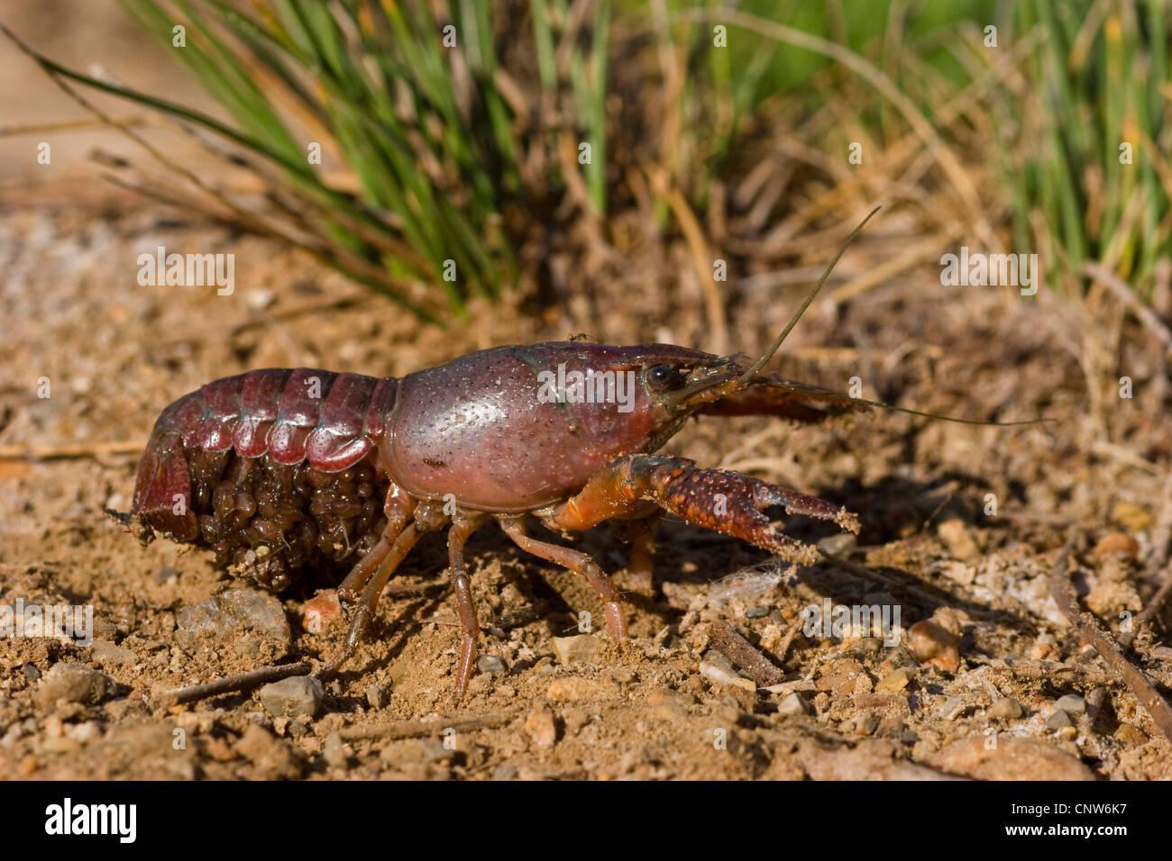 decapods (Decapoda), decapode on shore, Spain, Balearen, Majorca - Stock Image