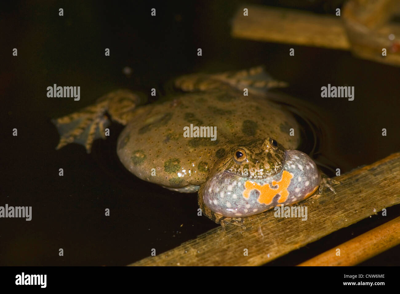 fire-bellied toad (Bombina bombina), croaking, Germany, Brandenburg - Stock Image