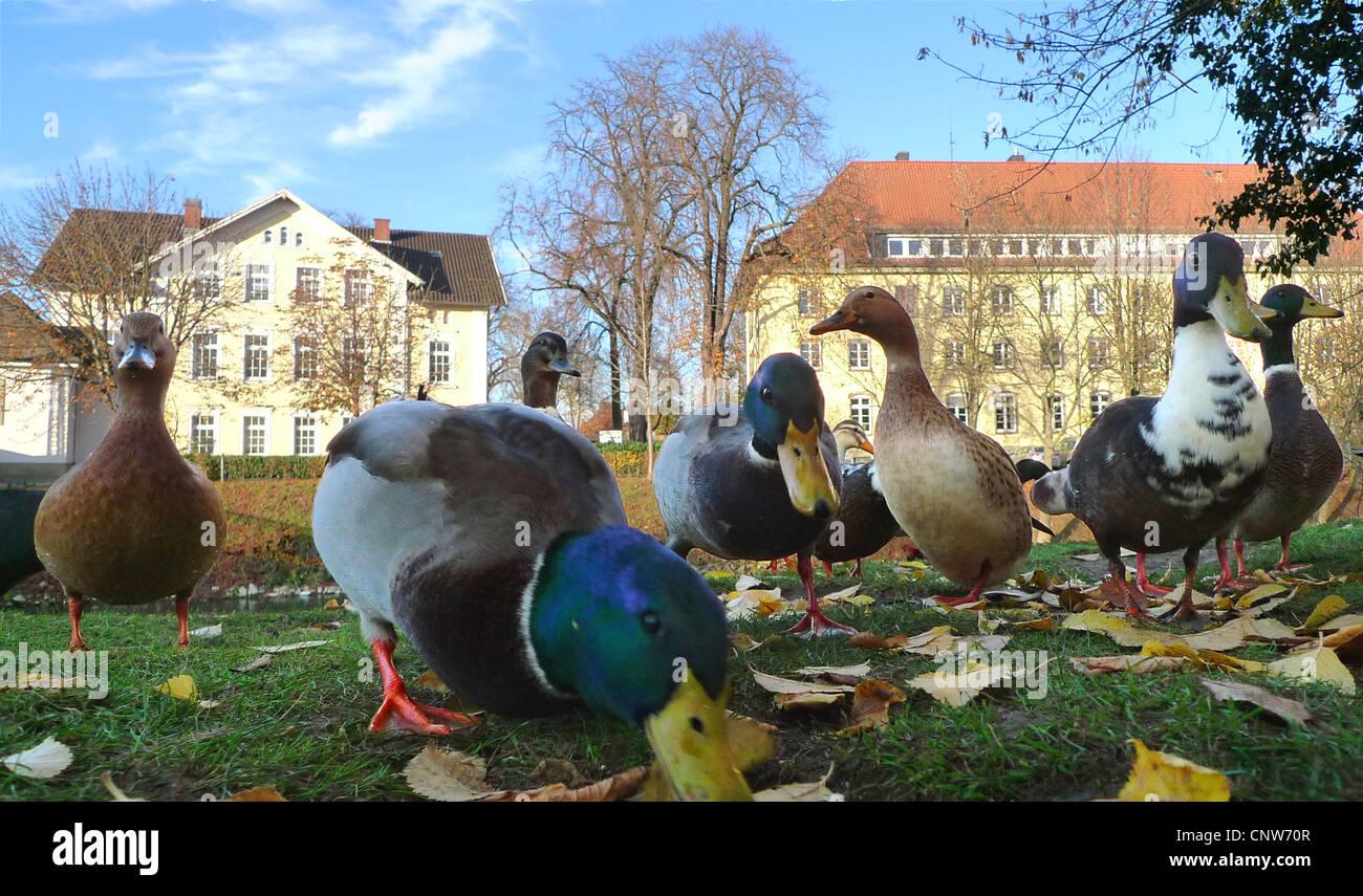 mallard (Anas platyrhynchos), group in a park, Germany, Lippstadt - Stock Image