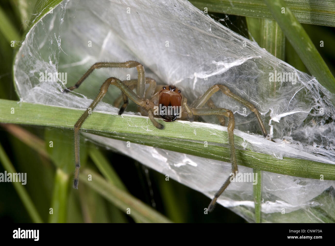 European sac spider, yellow sack spider (Cheiracanthium punctorium), at its nest, web sac, Germany - Stock Image