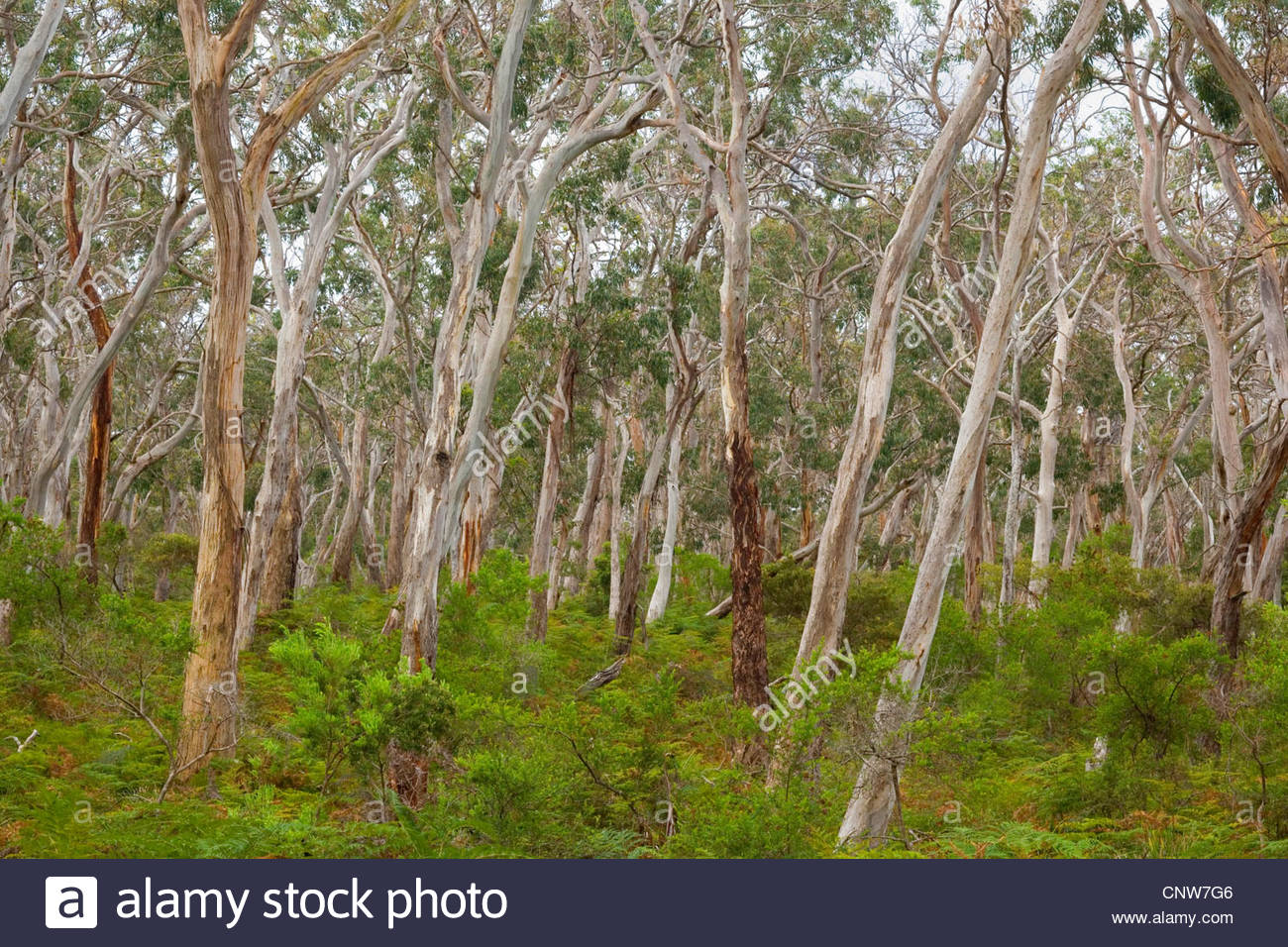 Manna gum, Eucalypt Forest, White Gum, Ribbon Gum (Eucalyptus viminalis), view into an eucalypt forest with Manna - Stock Image