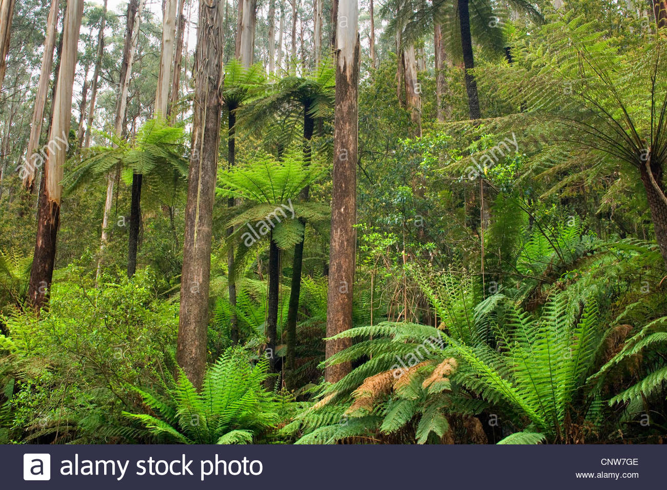 mountain ash, Victorian ash (Eucalyptus regnans), Wet Sclerophyll Forest, magnificent forest consisting of mainly - Stock Image