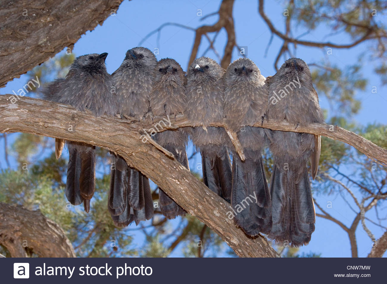 Apostlebird (Struthidea cinerea), six individuals sit tightly pressed together side by side on a tree branch , Australia, - Stock Image