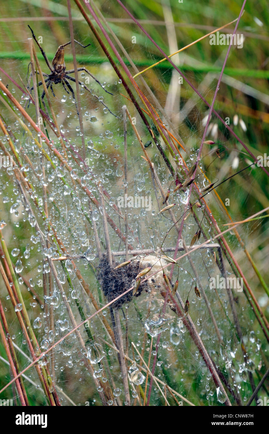 nursery-web spiders, fisher spiders, fishing spiders (Pisauridae), with nest in morning dew, Germany - Stock Image
