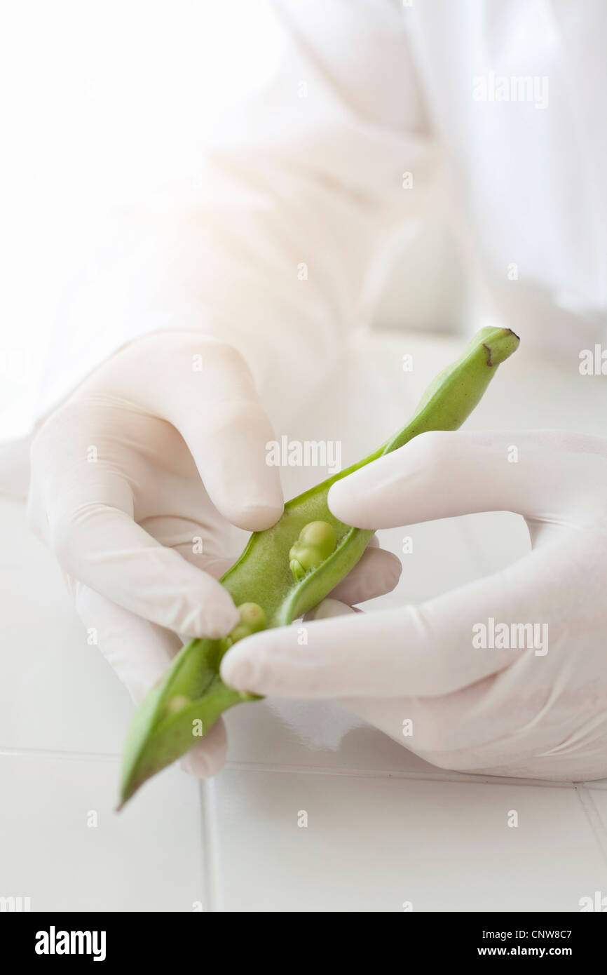 Scientist examining peas in pod - Stock Image