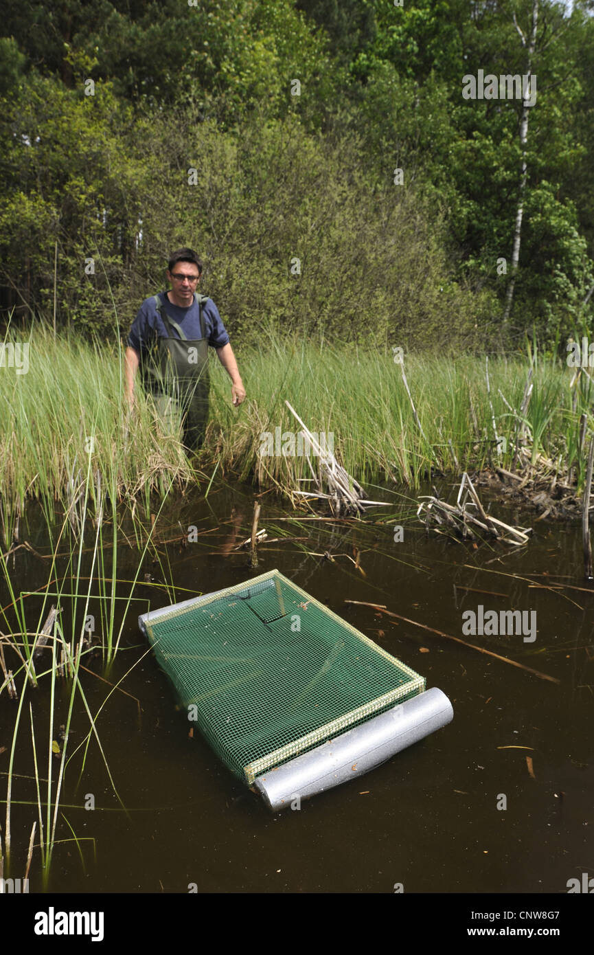 biologist controlling amphibian traps in a pond, Germany, Brandenburg - Stock Image