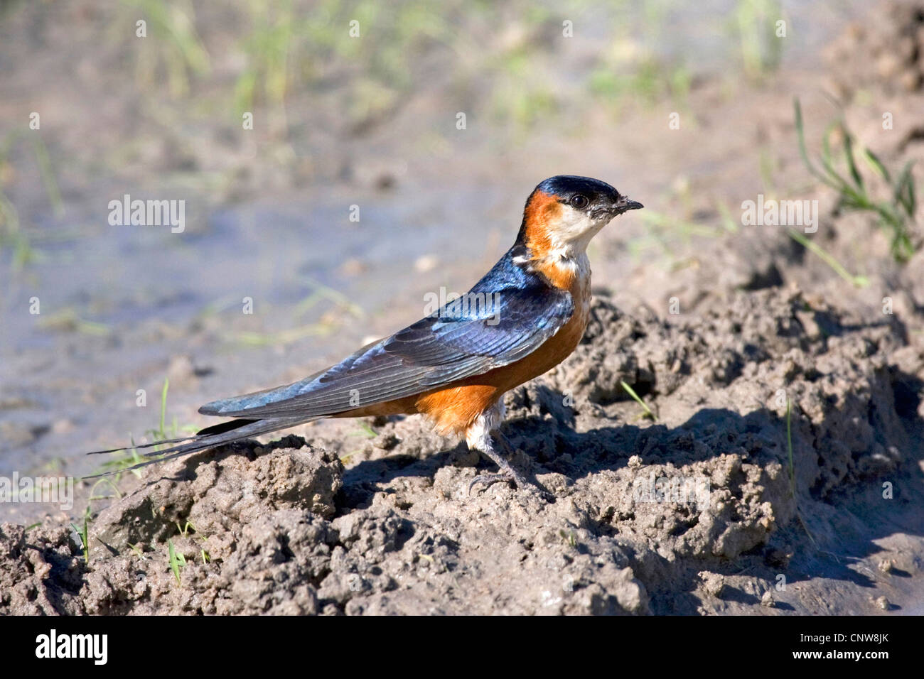 mosque swallow (Hirundo senegalensis), collecting nesting material in a puddle, Namibia, Mahango National Park - Stock Image